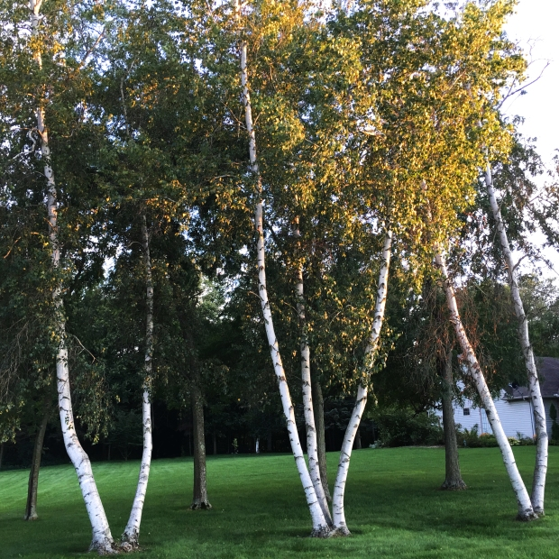 birch-trees-along-the-road